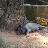 Индия, Тривандрам, счастливый Пумба под деревом)