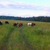 правильно - коровы! )))