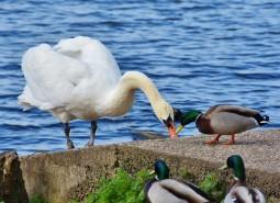 Лебедь-шипун и кряква