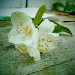 Цветы груши