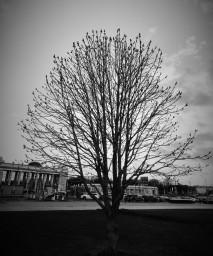 Дерево у ЦДХ